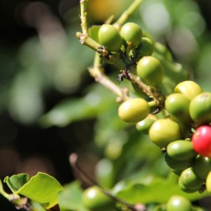 red-green-coffee-berries-720x480